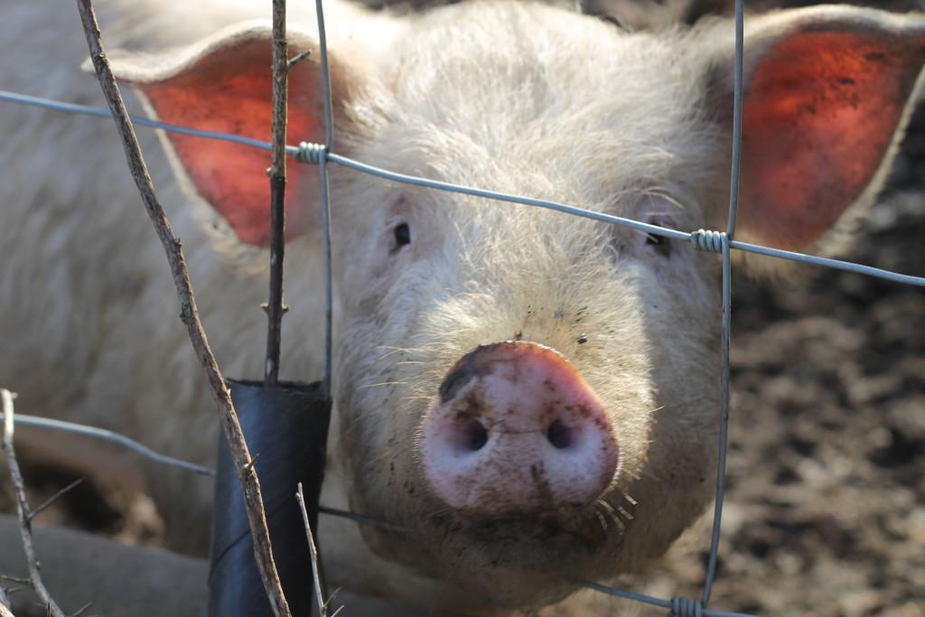 pig close up