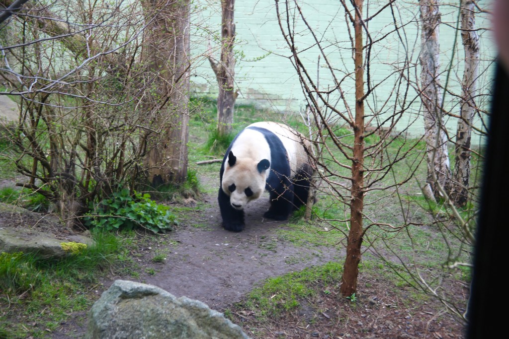panda at edinburgh zoo