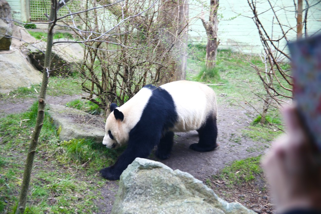 taking photos of pandas