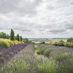 Travel || Yorkshire Lavender Farm