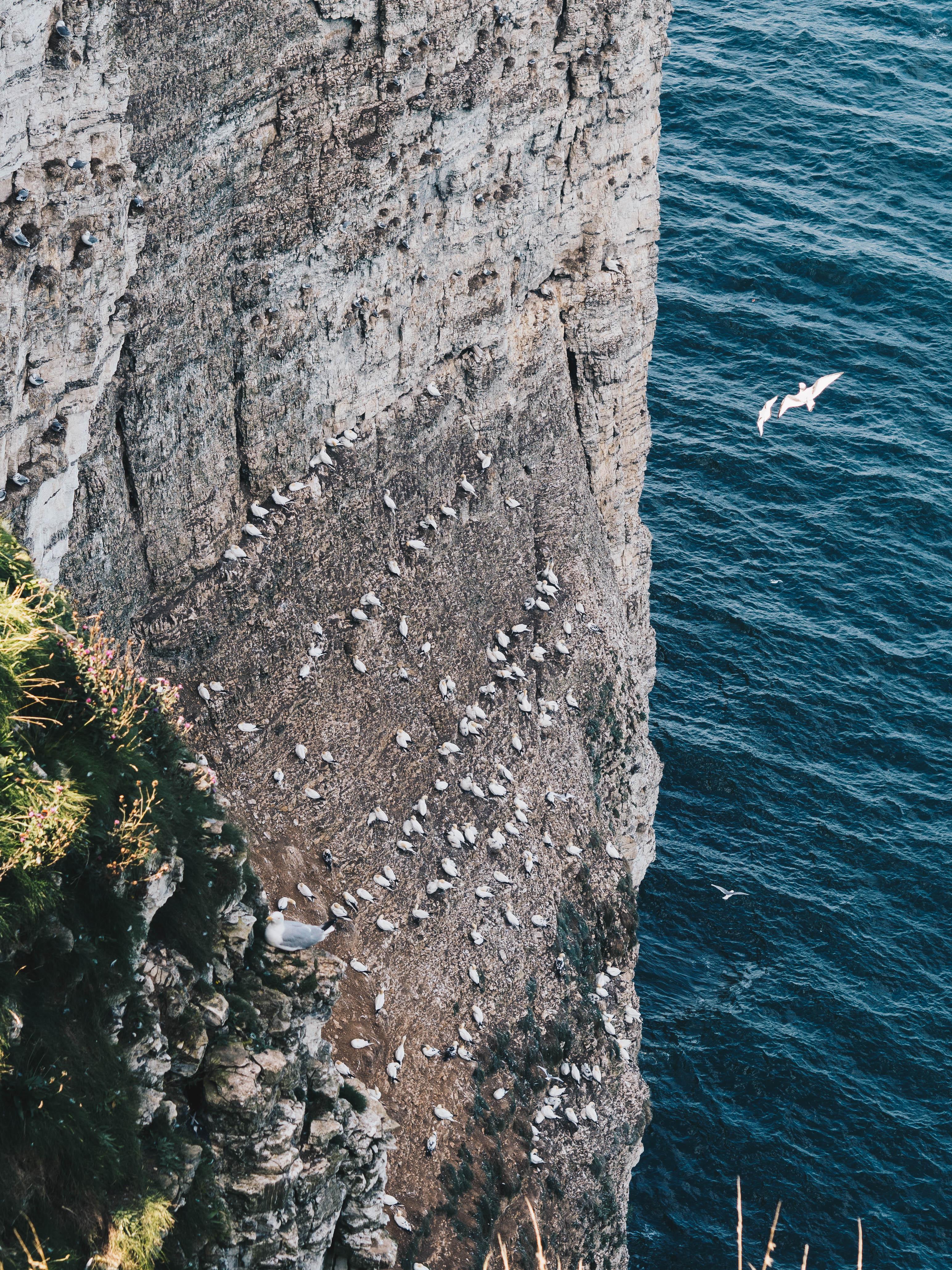 birds bempton cliffs