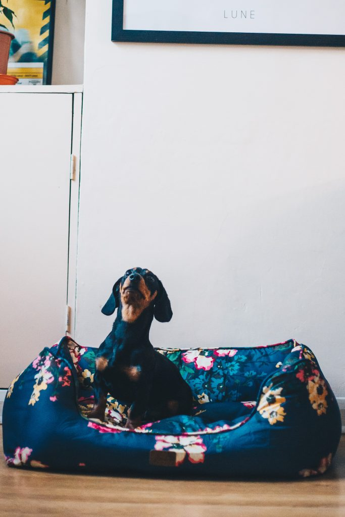 harold the sausage dog in joules bed